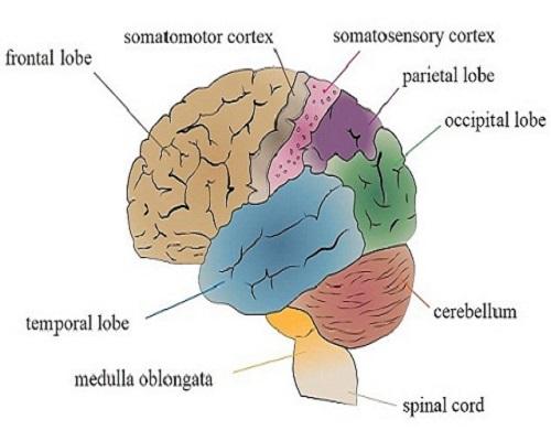 Sự thật mới gây sốc về não bộ con người